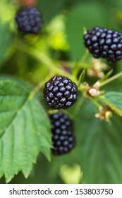 Fresh blackberries on a bush outdoors  in a field