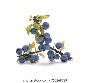 Fresh blackthorn berries with twig, prunus spinosa isolated on white background