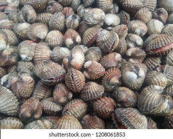 Fresh blood cockle or blood clam (Tegillarca granosa) background. Close-up raw sea cockles clams display for sale at seafood market use for cook steamed blanched cockles clams that very delicious menu