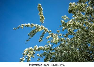 Fresh bloom of hawthorn in Spring.