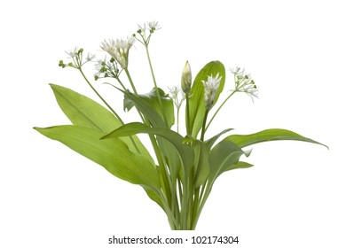 Fresh blooming Ramson on white background