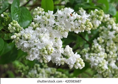 fresh blossoming branch of a white lilac
