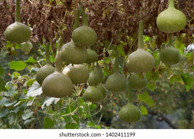 Fresh bottle gourd, Calabash,Ornamental Gourd Farm in the harvest season