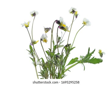Fresh bouquet tiny yellow flowers in spring isolated on white background