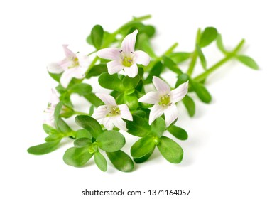 fresh brahmi twigs with flowers isolated on white background
