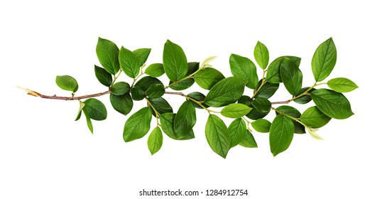 Fresh branch with green leaves isolated on white background