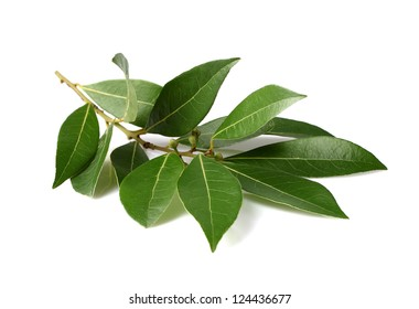 Fresh branch of laurel