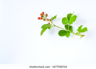 Fresh branch of young wild blackburry with red fruit and green leaves on white background.