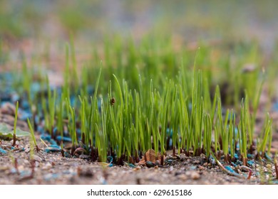 Fresh, brand new grass growing in a restored lawn.