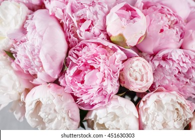 fresh bright blooming peonies flowers with dew drops on petals. white and pink bud