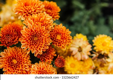 Fresh bright chrysanthemums. Japanese, korean style. Background for a beautiful greeting card. Autumn flowers in the garden. Flowering yellow chrysanthemums