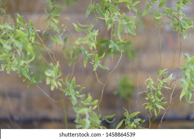 Fresh bright green leaves of ornamental shrubs near the wall of the house