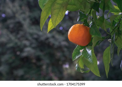 Fresh, bright, juicy orange growing on a branch