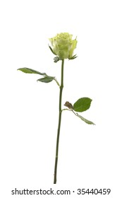 Fresh bright rose