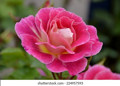 Fresh bright rose and leaves