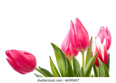 fresh bright tulips isolated on a white background