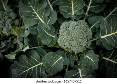 Fresh Broccoli green vibrant. This Broccoli is still planted in the soil and not picked up yet. 