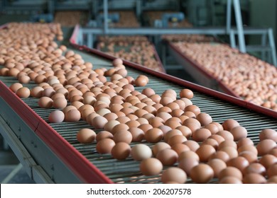 Fresh brown eggs on a transportation line on a modern poulty factory