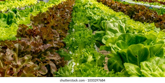 Fresh brown and Green lettuce in hydroponics farm