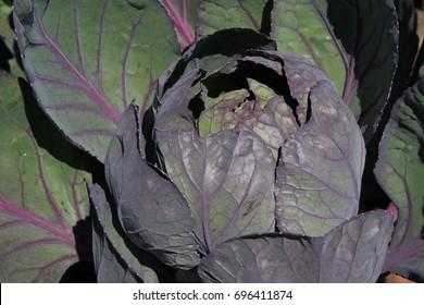 "Fresh ""Brussels Sprouts Rubine"" plant leaves (or Rosen-Kohl) in St. Gallen, Switzerland. Its Latin name is Brassica Oleracea var. Gemmifera 'Rubine'."