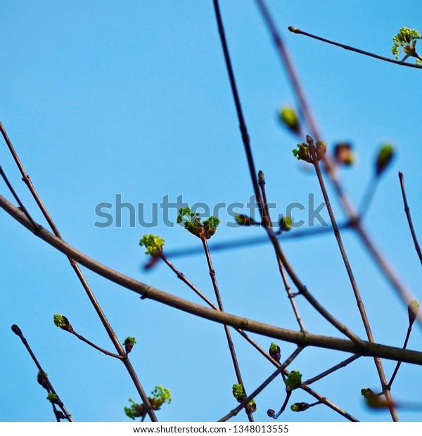 Fresh buds on tree branch