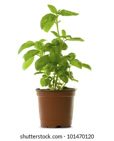 fresh bunch of basil into a brown pot, green leaves