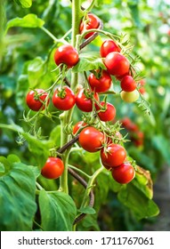 Fresh bunch of red ripe and unripe natural tomatoes growing on a branch in homemade greenhouse. Blurry background and copy space for your advertising text message.