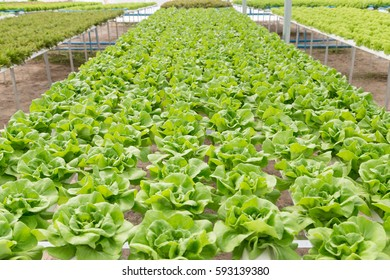 fresh butterhead lettuce salad plant in the hydroponic system