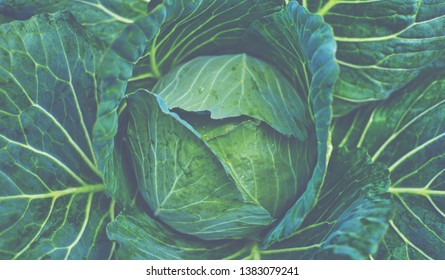 Fresh cabbage from farm field. View of green cabbages plants. Vegetarian food concept. Soft focus of big cabbage in the garden. Fresh green cabbage maturing heads growing in vegetable farm.