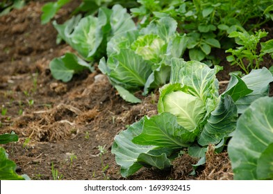 Fresh cabbage from farm field. View of green cabbages plants.Non-toxic cabbage.Non-toxic vegetables.Organic farming.