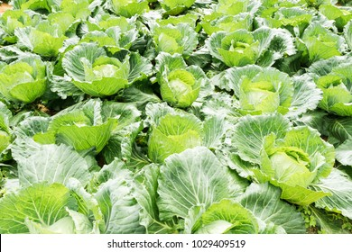 Fresh cabbage in harvest field. Cabbage are growing in garden. Organic vegetable background in freshness atmosphere farm on mountain with mist in morning. Agriculture concept.