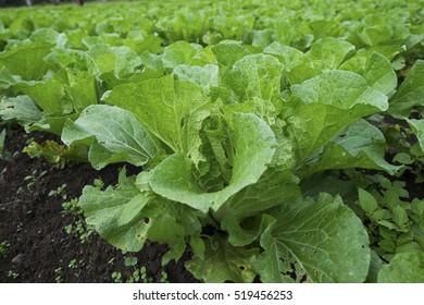 Fresh cabbage leaf in farm