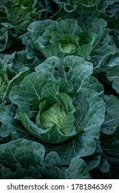 Fresh cabbages in field.Organic cabbages in early morning.