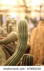 Fresh cactus plants in the garden