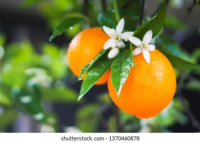 Fresh California oranges with the blossoms on the tree