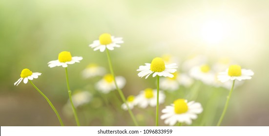 Fresh camomile flowers on green background