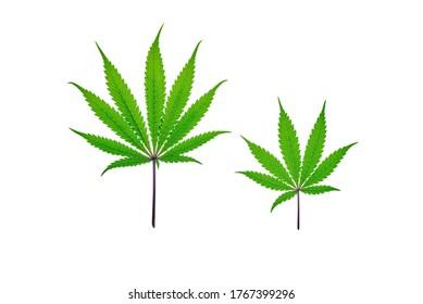 Fresh Cannabis leaf on plain background, isolated