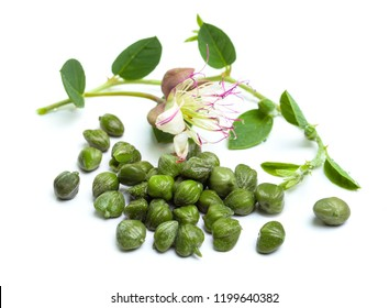 Fresh capers and caper plant branches close up