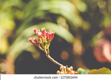 fresh carnation spice, Clove from the tree (Syzygium aromaticum)