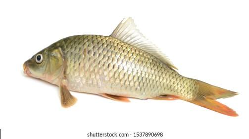 Fresh carp fish isolated on white background