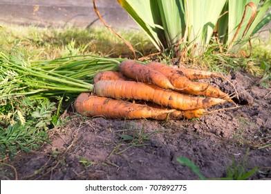 Fresh carrot in the autumn farm