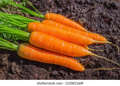 Fresh carrot in the garden. Juicy washable carrots lying on the ground in the field.