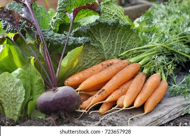 fresh carrots and beet  in front of green cabbage in a garden