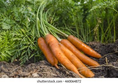 fresh carrots dug from the garden in summer day