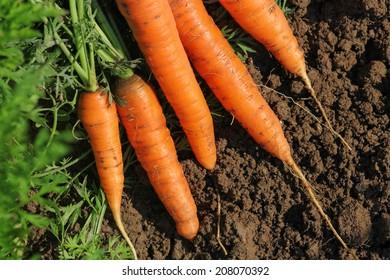 Fresh carrots in the garden