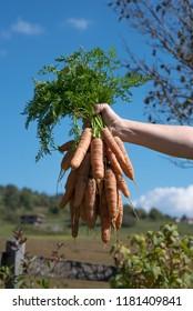 fresh carrots from garden in hand