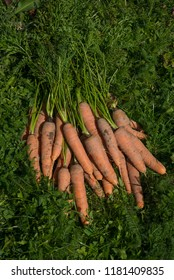 fresh carrots from garden  on grass