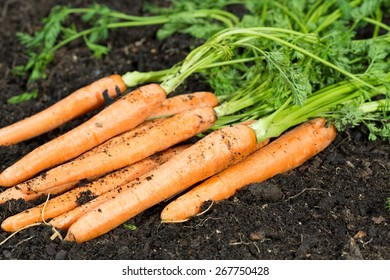 Fresh carrots in her bush about to be harvested
