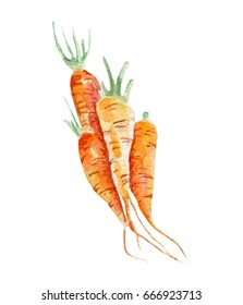 fresh carrots illustration. Hand drawn watercolor on white background