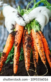 Fresh carrots picked from garden in hands.Carrots on garden ground. Harvest. Agriculture.